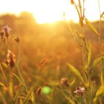 nature - sunshet in a field