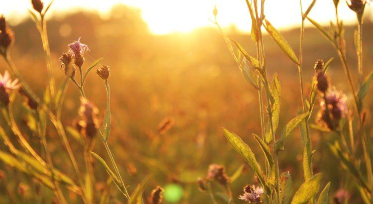 nature - sunshet in a field